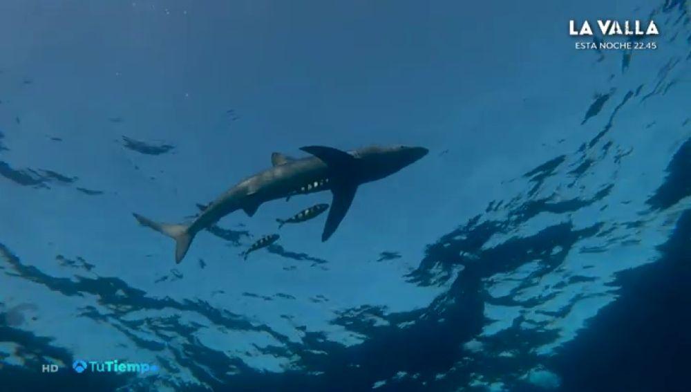 Encuentran al tiburón más rápido del mundo merodeando en el Cantábrico