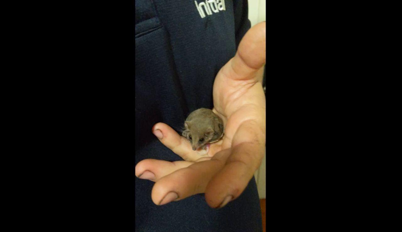 VÍDEO: Un pósum pigmeo acróbata da a luz en la mano de la persona que le rescato