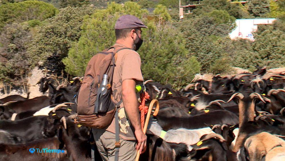 El pastor encamina a las cabras a su paso por El Bolao