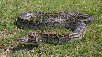 Serpiente pitón birmana