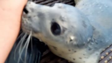 VÍDEO: Una mujer cuida de adorables focas huérfanas