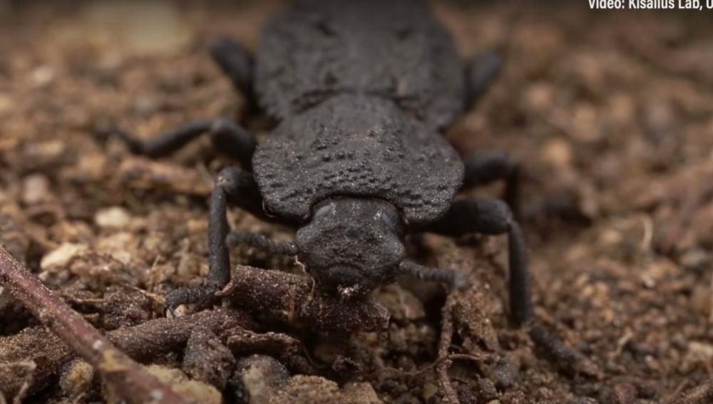 Escarabajo diabólico acorazado resistente a atropellos