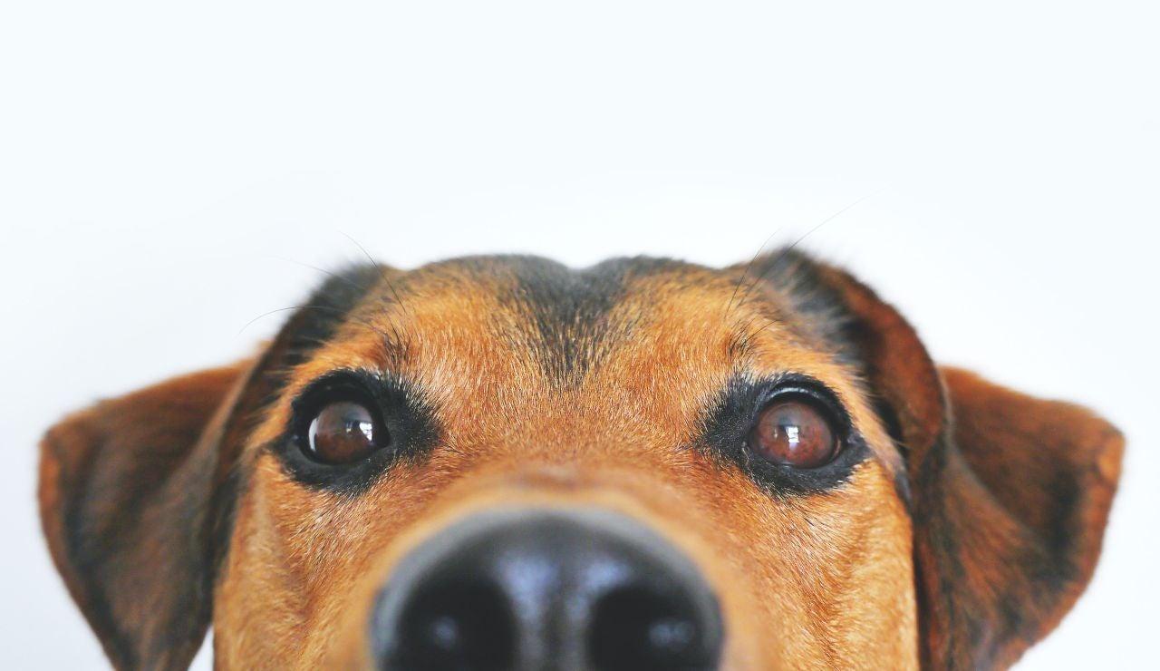 ¿Pueden los perros ser postureros?