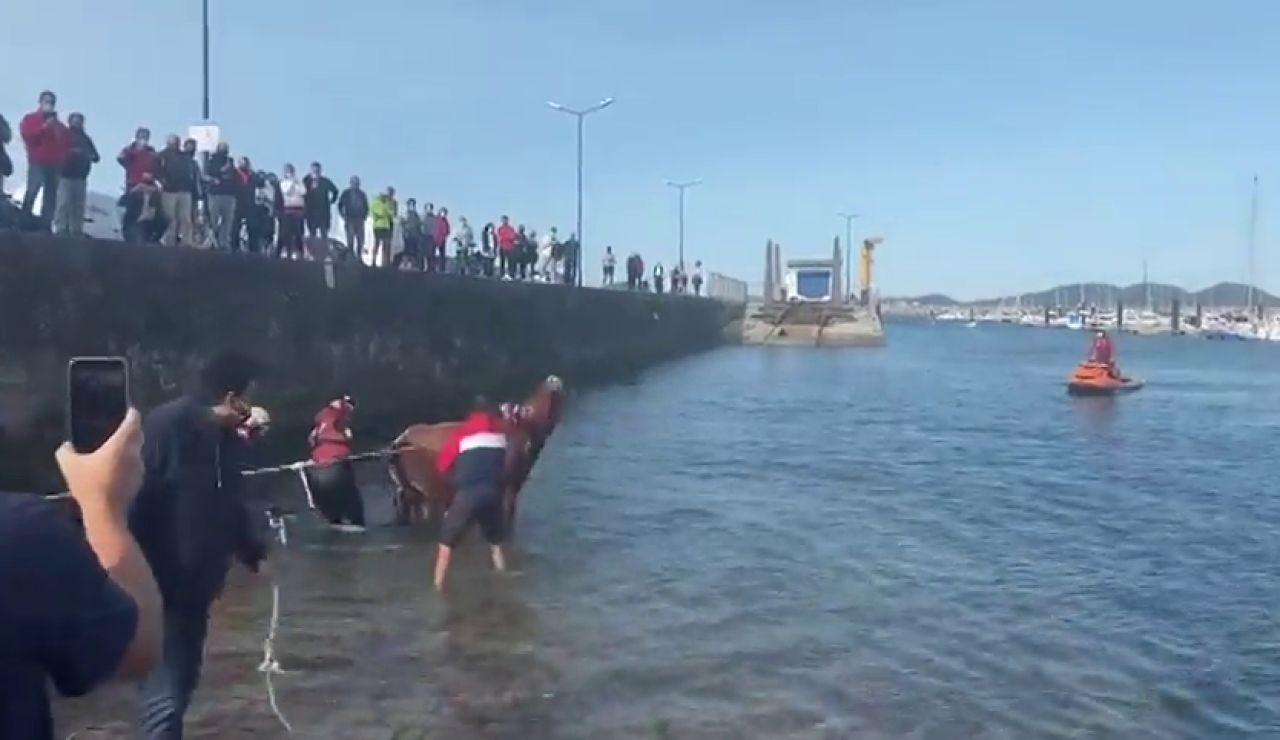 El espectacular rescate por mar de la vaca Ayla tras estar 7 días enriscada en un acantilado de Cantabria