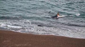 VÍDEO: Un león marino escapa de las mandibulas de una orca por centímetros