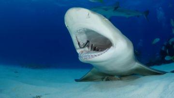 VÍDEO: Un tiburón deja que varios peces le limpien la boca