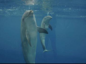 Nace un delfin durante el confinamiento en el Oceanogràfic