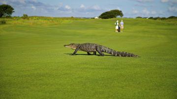Caimán en un campo de golf