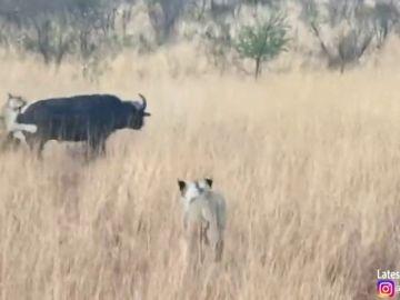 VÍDEO: Un búfalo choca contra un vehículo de safari mientras intentaba huir del ataque de unas leonas