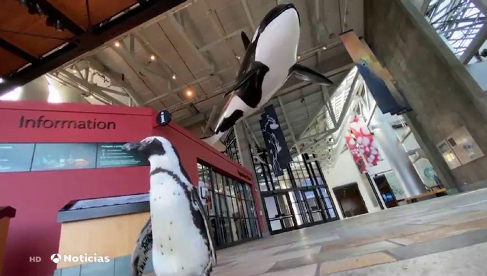 El visitante más inusual de un acuario de California mientras permanecía cerrado al público por la pandemia