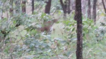 ¿Puedes verlo? Encuentran a un raro leopardo negro en India