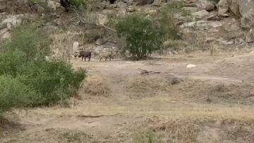 VÍDEO: Un facoquero escapa de las fauces de un leopardo en el último segundo