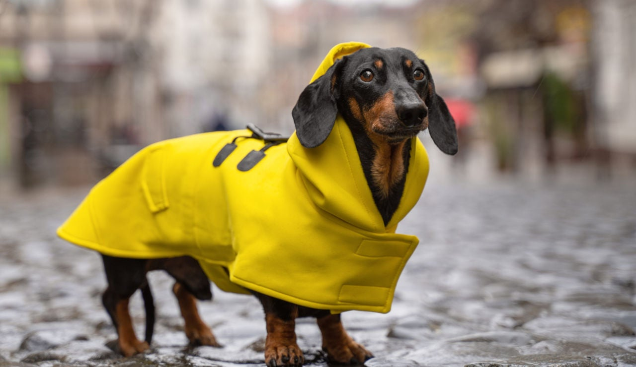 Perrete con abrigo
