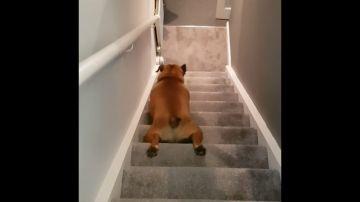 VÍDEO: Un perro demasiado vago baja las escaleras deslizándose