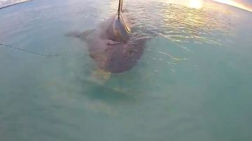 Un pescador captura un tiburón toro en Australia