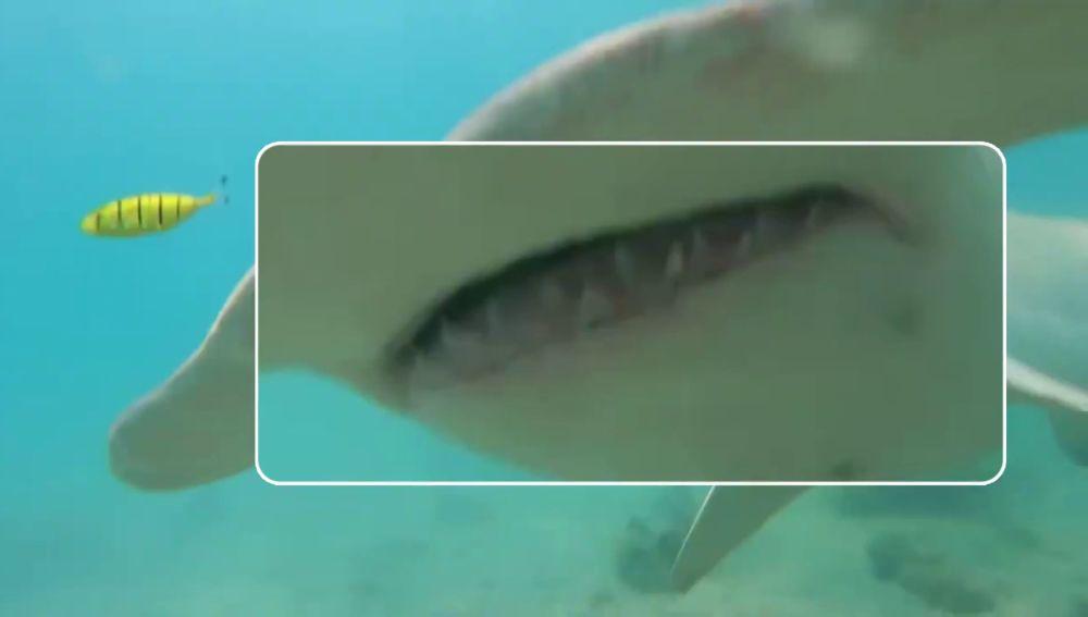 El espeluznante momento en que un tiburón martillo se lanza contra un buceador en Australia
