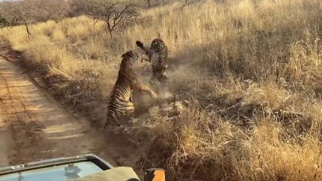 Logran grabar la encarnizada lucha de dos tigres en la India