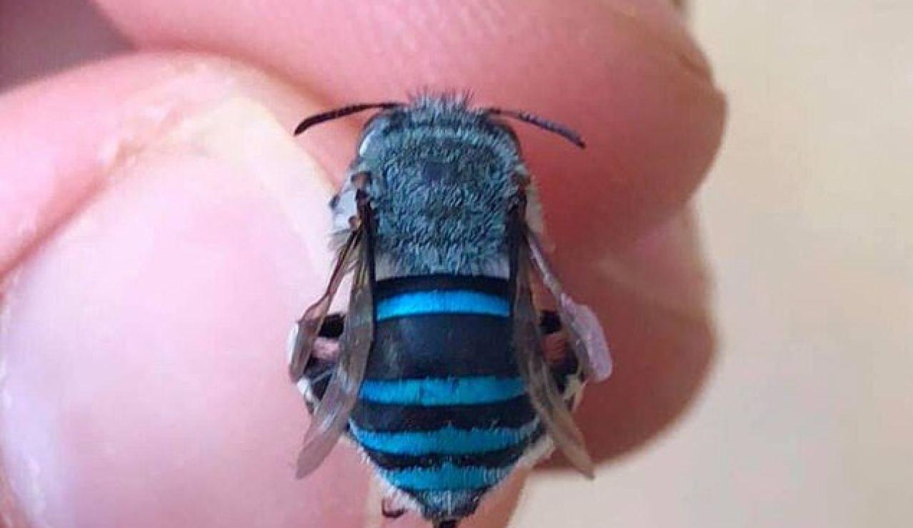 Las asombrosas abejas azules que solo existen en Australia