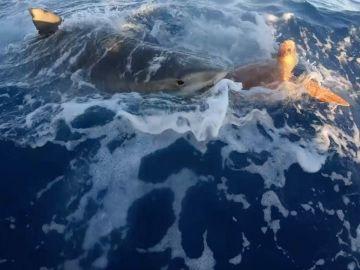 Tiburón atacando a una tortuga