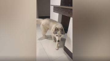 Perro inteligente que limpia su propio pis