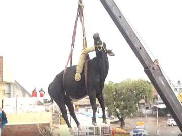 Vaca rescatada en India