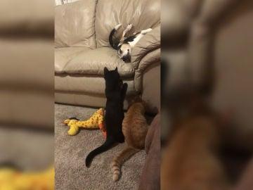 Gatos molestan a un perro