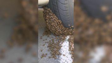 VÍDEO: Un Hombre quita enjambre de abejas del neumático de automóvil