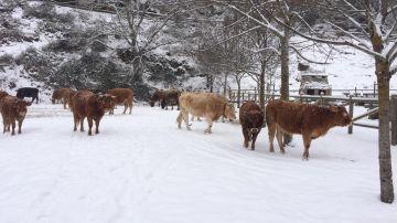 Vacas nieve en La Rioja