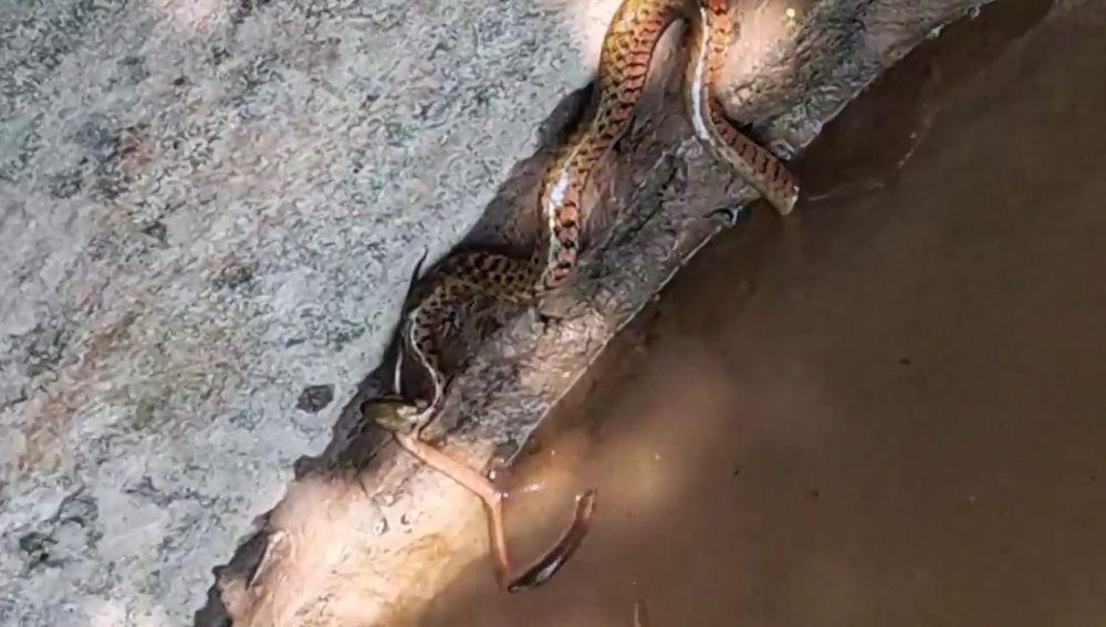 VÍDEO: Una anguila escapa milagrosamente de la boca de una serpiente gigante