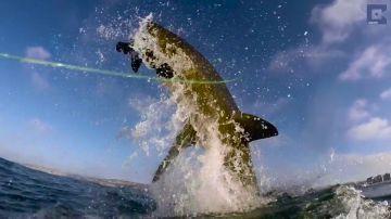 Graban a un gran tiburón blanco saltando fuera del agua para devorar a una foca
