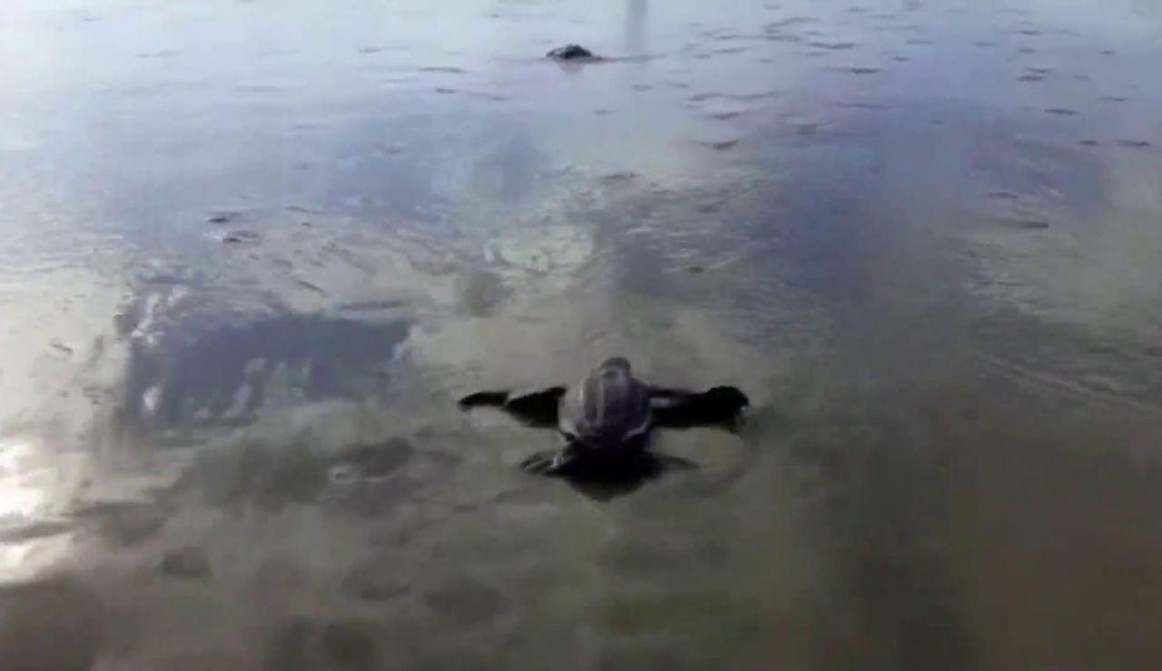 Aparecen las primeras tortugas laúd en Ecuador por primera vez en 40 años