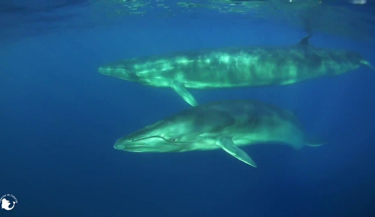 Las ballenas ya tienen su propio santuario en Tenerife, una franja marina de 22 kilómetros entre Teno y Las Galletas
