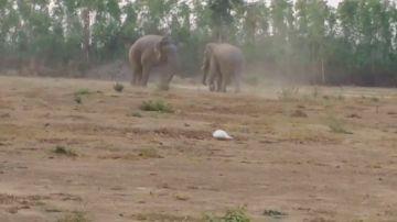 VÍDEO:Un elefante pelea con un miembro más joven de la manada por los derechos de apareamiento
