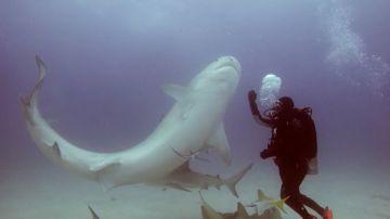 Tiburón dormido con hipnosis