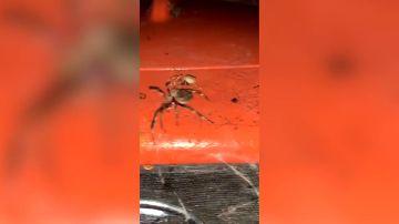 Graba la pelea a muerte de dos gigantescas arañas en Australia