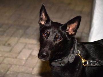 Un estudio revela que los perros pueden detectar hasta el 94% de los casos de coronavirus, incluso en asintomáticos