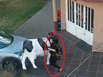 El exfutbolista Estanislao Ayuso atropella a una mujer se salva de milagro gracias a la réplica de una vaca