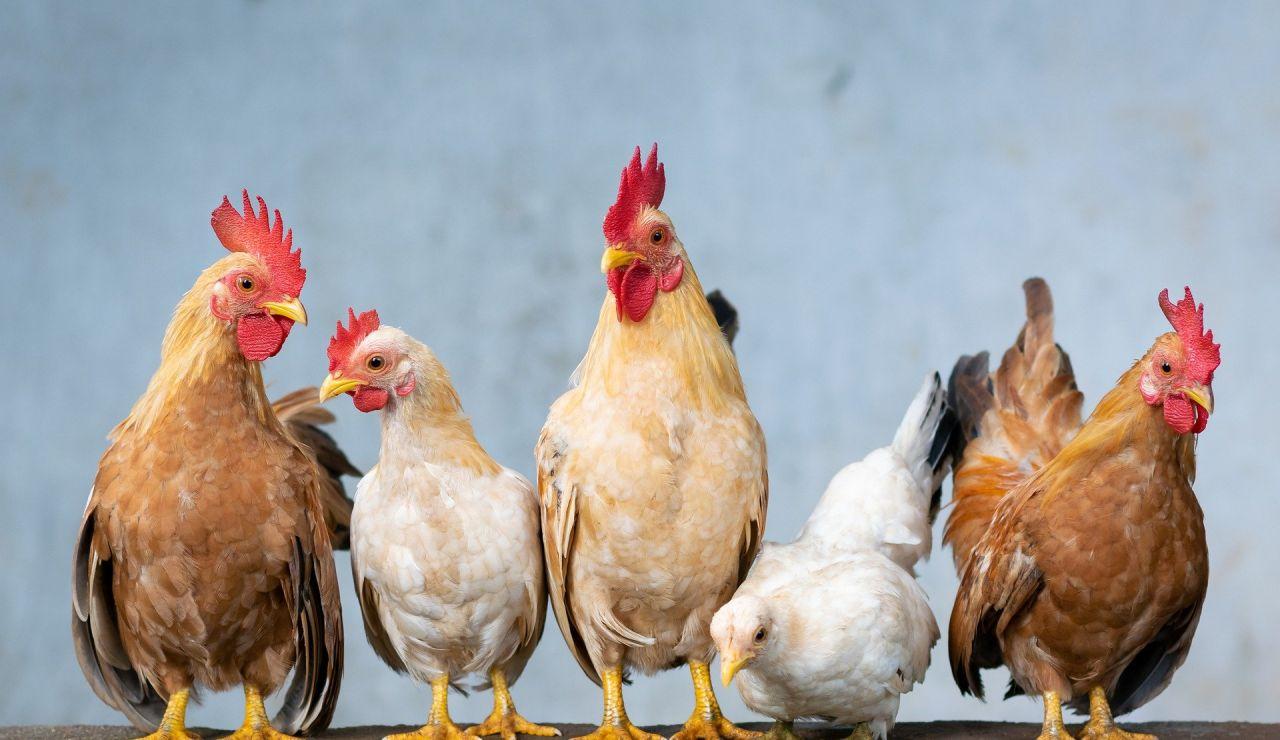 Cuatro tipos de huevo según la gallina ponedora