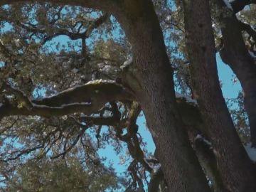 La Carrasca milenaria de Lecina en Huesca busca convertirse en el Árbol Europeo del año 2021