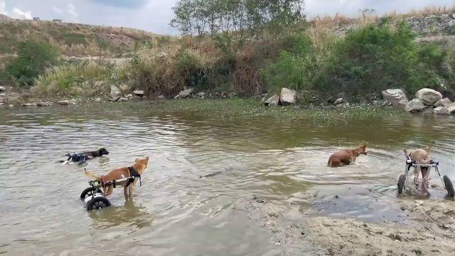 Un grupo de perros discapacitados en sillas de ruedas se bañan en un río de Tailandia