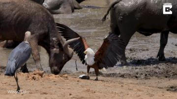 VÍDEO: Un águila se enfrenta a dos pájaros y un búfalo en Sudáfrica