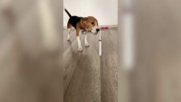VÍDEO: Una perra se asusta al ver un cepillo de dientes eléctrico encendido