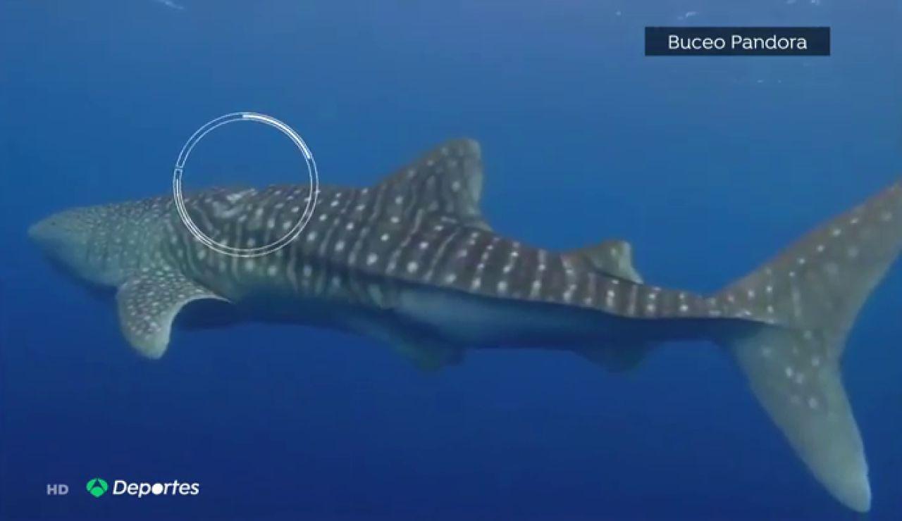 Espectacular rescate de unos buceadores españoles a un tiburón ballena en Maldivas