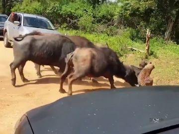 VÍDEO: Una manada de búfalos ataca a un leopardo para salvar a una de sus crías