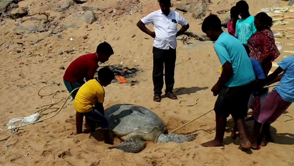 Lugareños en el sur de la India devuelven tortuga varada al mar