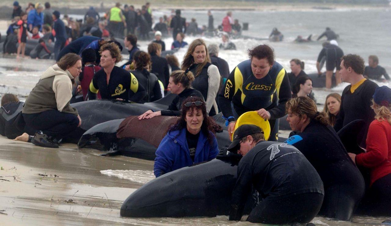 Rescate de ballenas varadas en Farewell Spit (Nueva Zelanda).