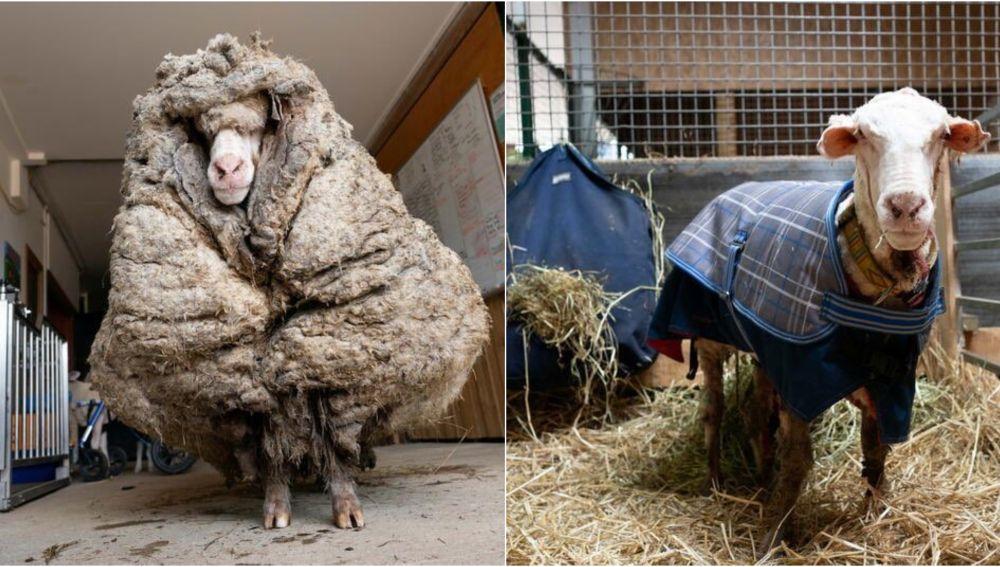 Baarack, la oveja australiana rescatada tras cinco años perdida y a la que han esquilado 35 kilos de lana