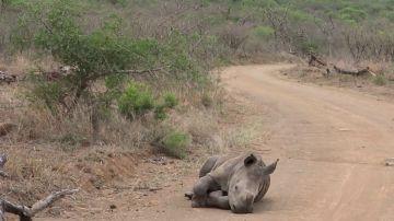 VÍDEO: Un adorable bebé rinoceronte toma una siesta rápida en medio de la carretera