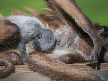 Nace una cría de mono araña, especie en extinción, en el Zoo de Barcelona,