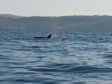 Susto en Fisterra por varias orcas